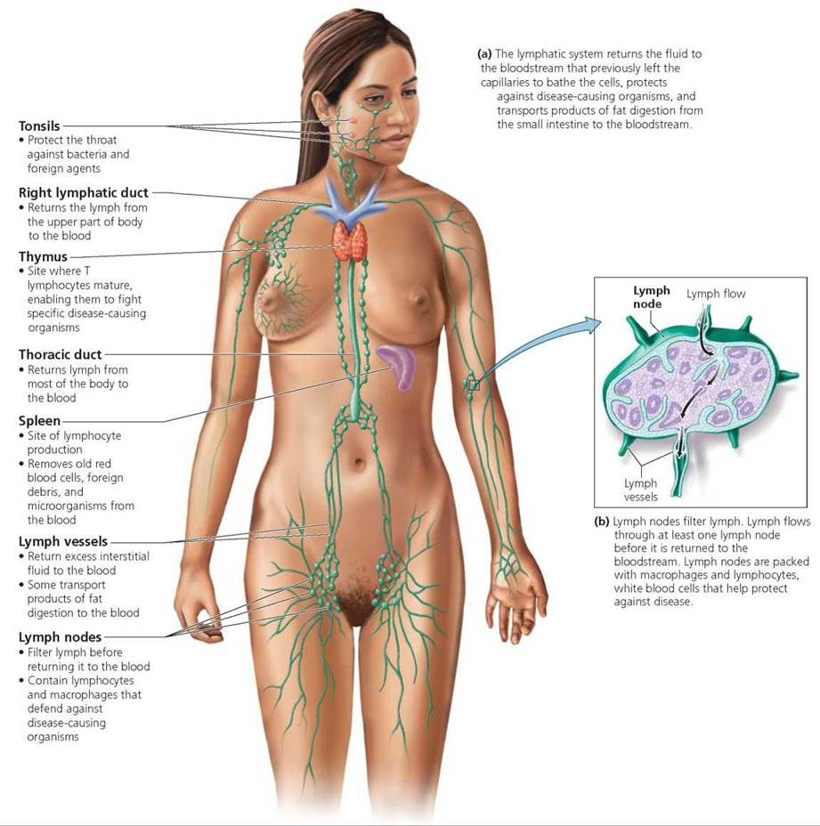 Female lymph nodes diagram human anatomy system vessels containing clear fluid also rh pinterest