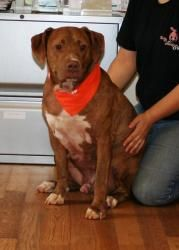 RED is an adoptable Mastiff Dog in Seneca, SC. About me: REMEMBER ME????? My name is Red.  I was thrown from a truck in Greenville, SC with a 25 pound logging chain wrapped around me. I had to dodge f...
