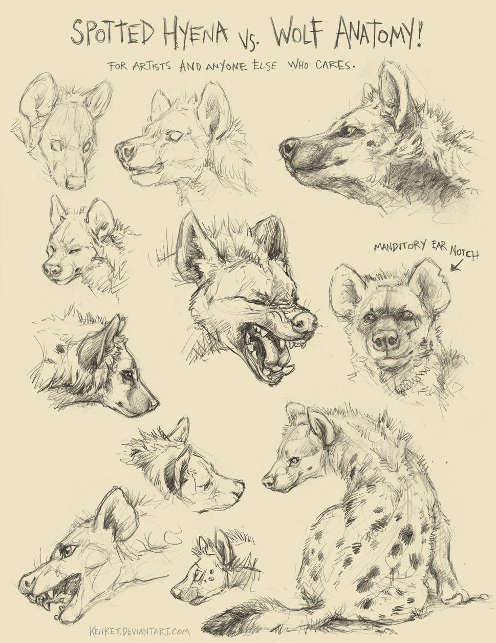 AnatoRef — Spotten Hyena vs. Wolf Anatomy by Tess Garman   2 ...
