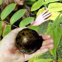 North Carolina Cannonball Walnut Tree 24 95 3 4 Ft Tall