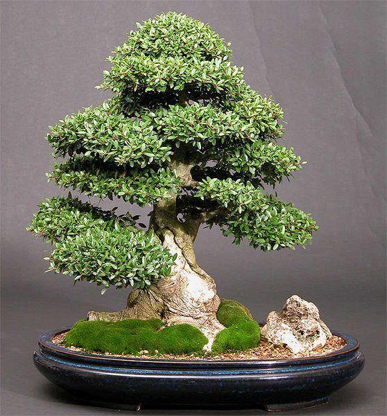Bonsai 1252