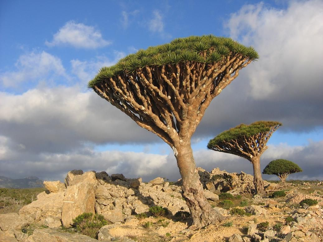 Soqotra Dragoons Blood Tree Yemen Earth Pinterest Trees and Blood