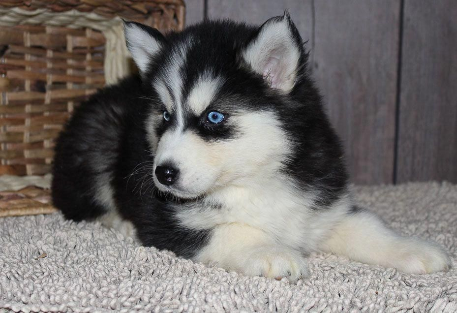 Fluffy An Akc Siberian Husky Puppy For Sale From Indiana Find Cute Siberian Husky Puppies And Resp Husky Puppies For Sale Siberian Husky Puppies Husky Puppy