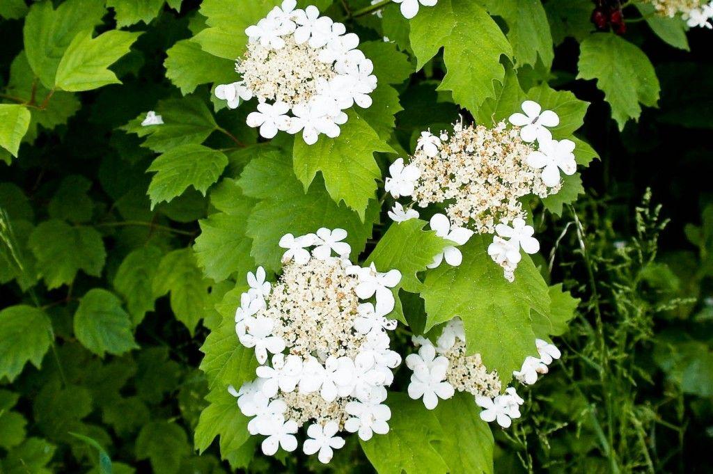 Kalinowe Refleksje Herbs Plants Fruit
