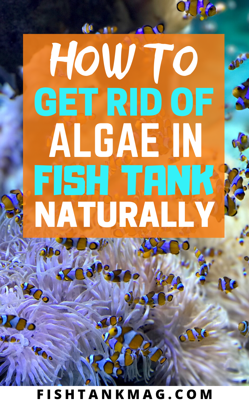 How To Get Rid Of Algae In Fish Tank Naturally In 2020 Fish Tank Fresh Water Fish Tank How To Get Rid