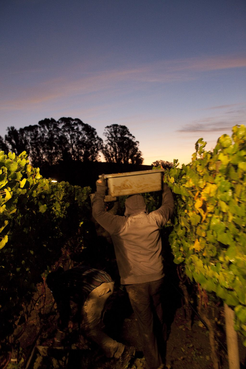 Pine Ridge Vineyards, Dijon Clones Chardonnay from our ...