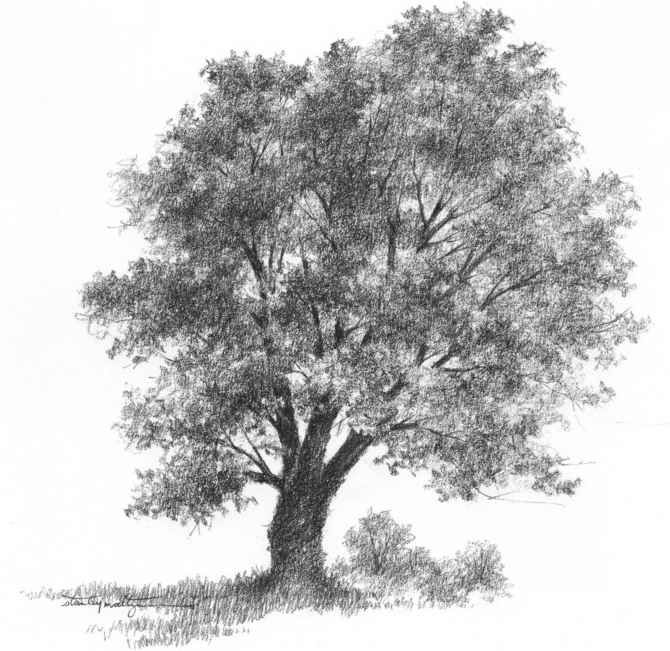 Pencil drawing of a tree birches drawing nature