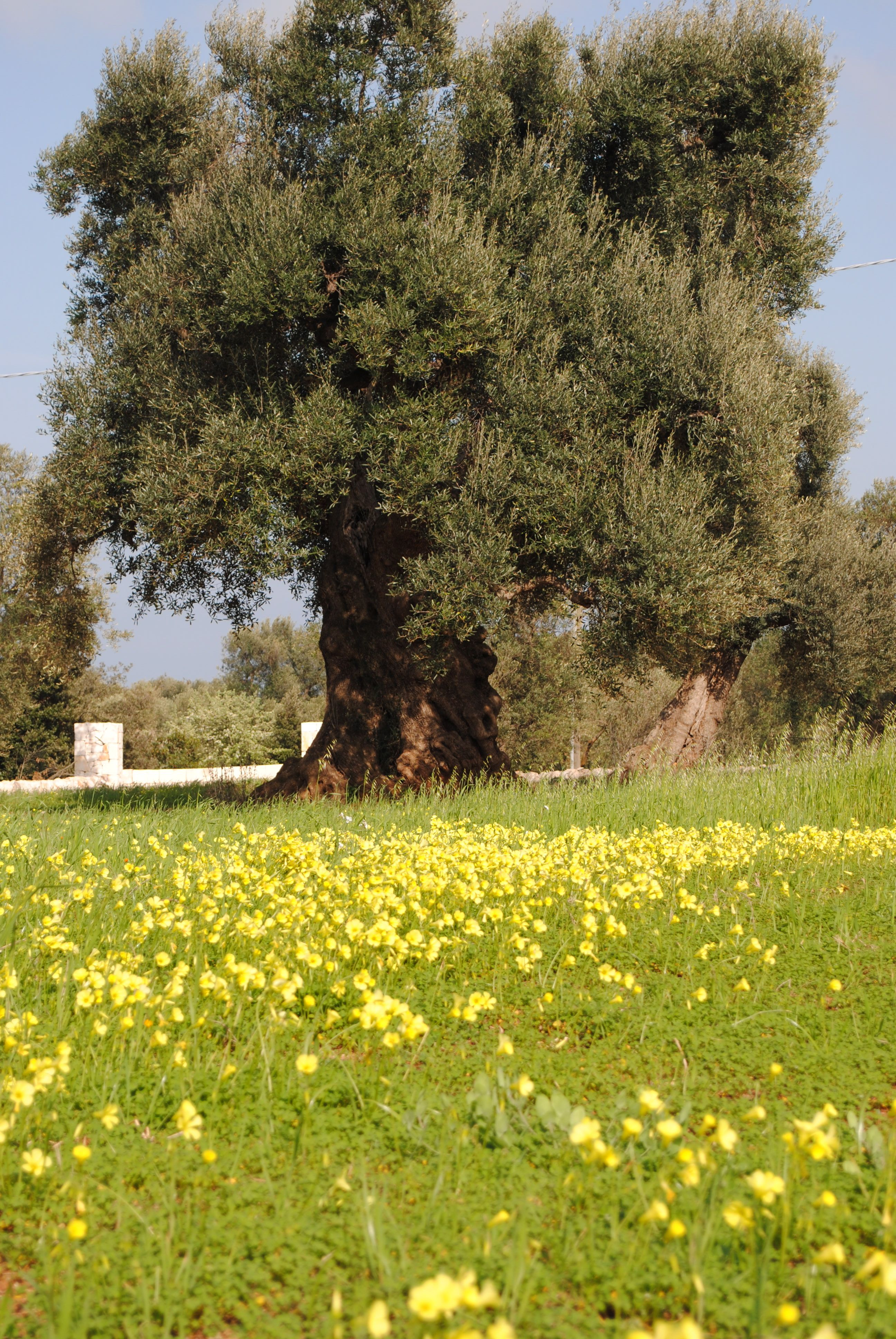 Spring blossoms under ancient olive trees   Fruit Trees   Pinterest ...