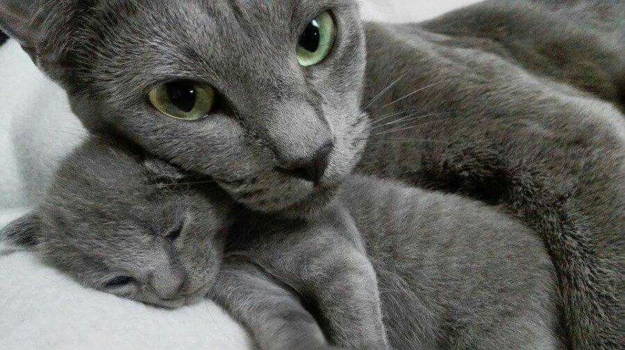 Pin By Antonio Lobo Mendez On Korats Grey Cats Russian Blue Cat Cats And Kittens