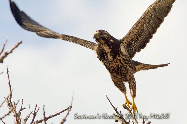 Swainson's Hawk (Birds of Prey, Hawks)