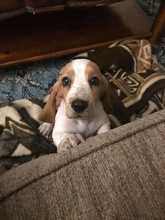 Pin By Sam On Basset Puppies Hound Puppies