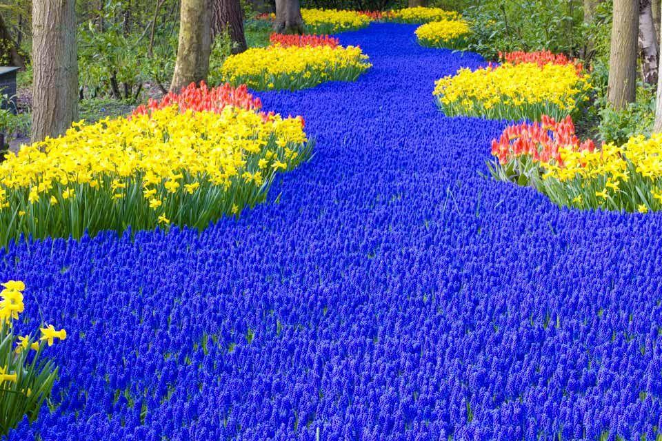 River Of Blue Tulips In Park Keukenhof Amsterdam 庭園, 花畑, 花壇