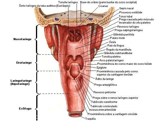 Aula de anatomia sistema respiratrio enfermagem pinterest human jaw anatomy diagram rat jaw anatomy diagram 28 images animal kingdom insectivorous mammals mole mandible bones diagram ethmoid bone diagram ccuart Images