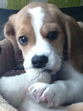 Lexi 3 S Soft And Cuddly Dogs And Puppies Beagle Puppy Cute