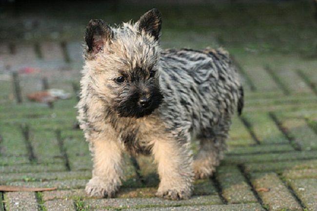 cairn terrier puppies Water Sky Собаки