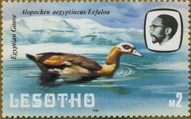 Serie corriente: Aves Alopochen aegyptiacus Oca del Nilo 20/04/81 Lesotho