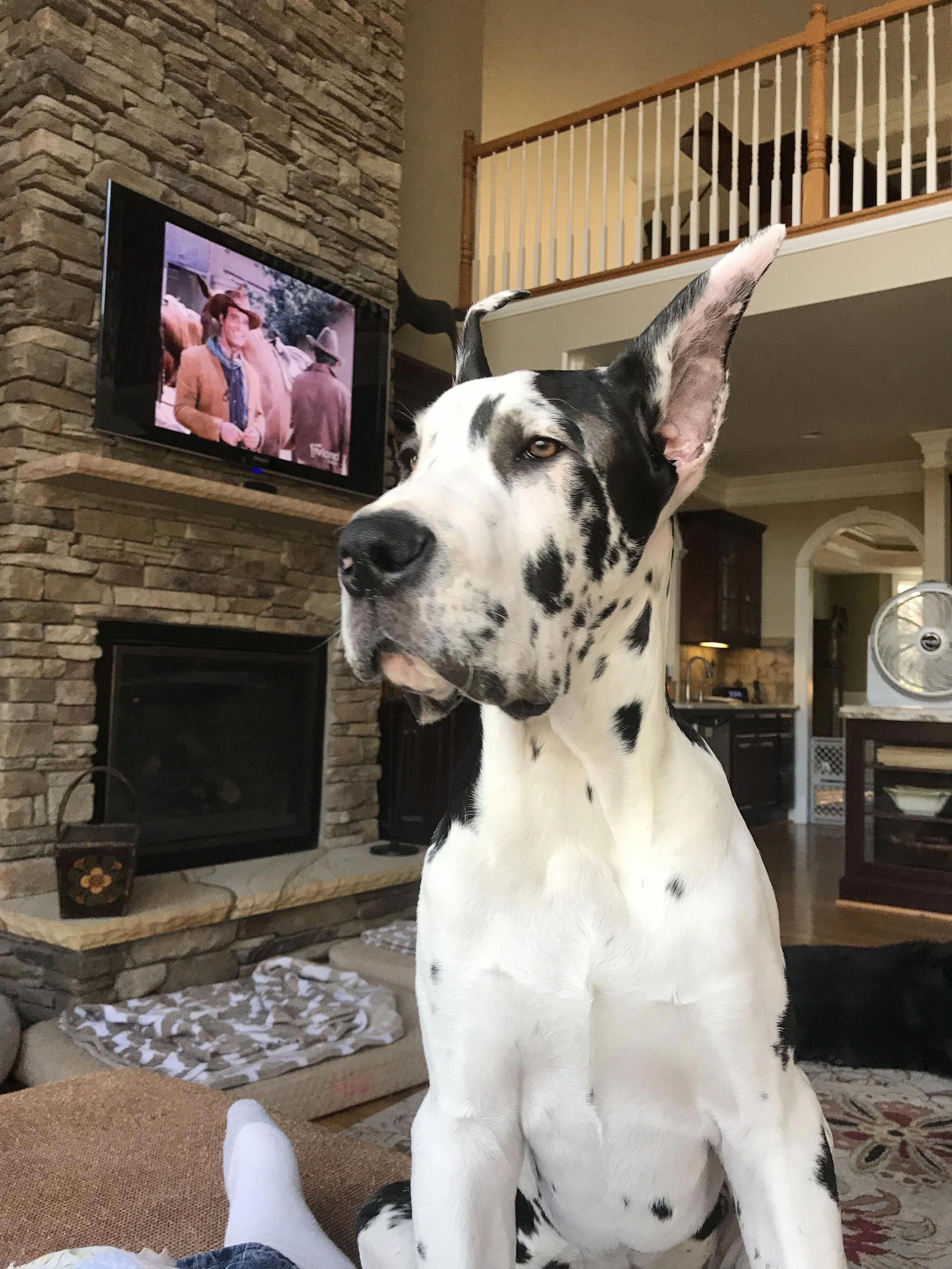 Acquire Fantastic Recommendations On Great Dane Dog They Are