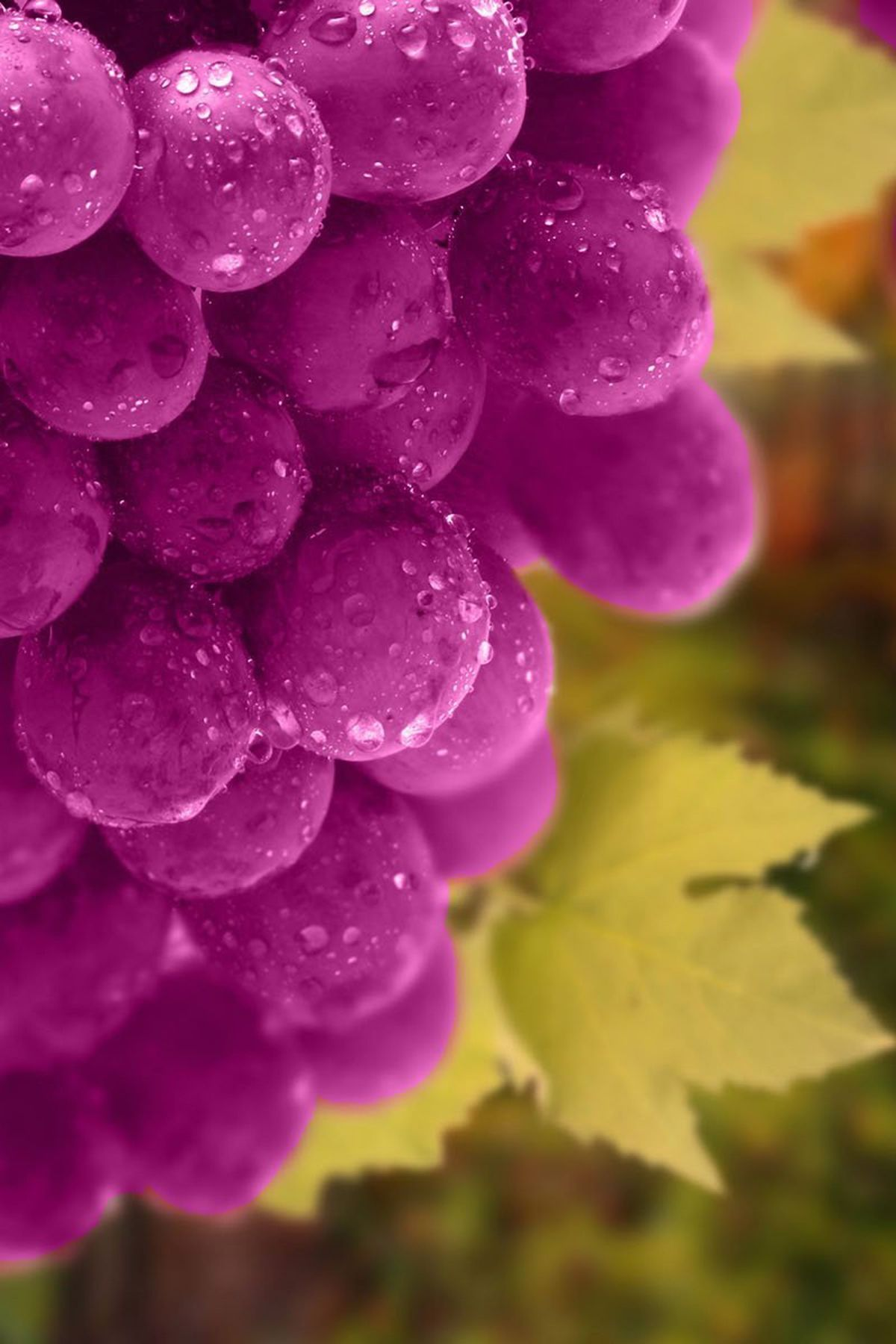 Grapes On Tree Wonderful Natural Fruits Wallpapers Mobile Wallpaper Purple Grapes Tree Wonderfu Fruit Wallpaper Colourful Wallpaper Iphone Mobile Wallpaper