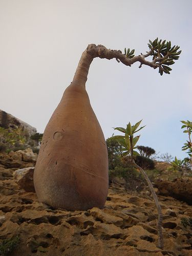 The Socotra Desert Rose or Bottle Tree (Adenium obesum socotranum) in Yemen