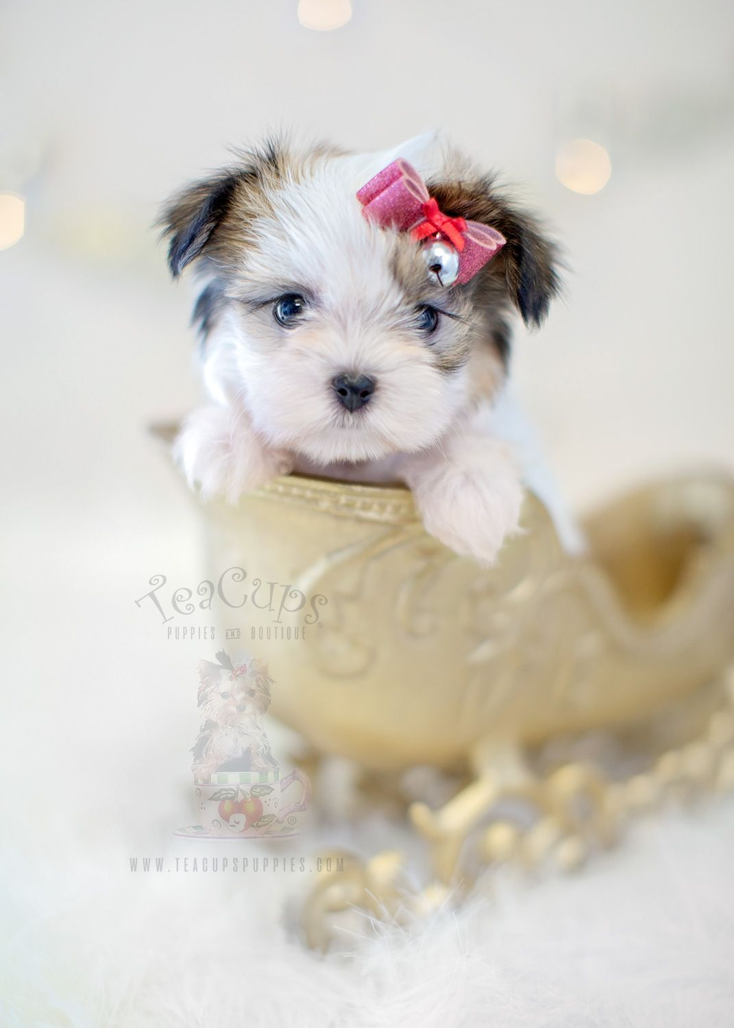 Teacups Puppies Miki Breed Available
