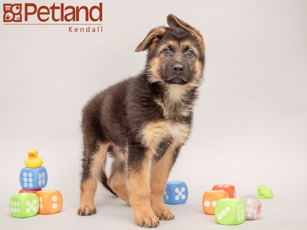 Petland Florida Has German Shepherd Puppies For Sale Interested In Finding Out More About This Breed Check Out With Images Puppy Friends German Shepherd Puppies Puppies
