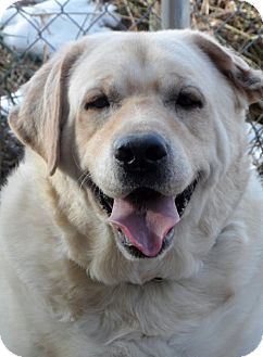 Izzo Yellow Lab Male About 6 Years Old Social House Broken Good With Kids Cats And Other Dogs Missaukee Humane Society Pets Animal Photo