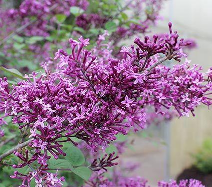 Syringa Bloomerang Dark Purple Reblooming Lilac Planten Tuin