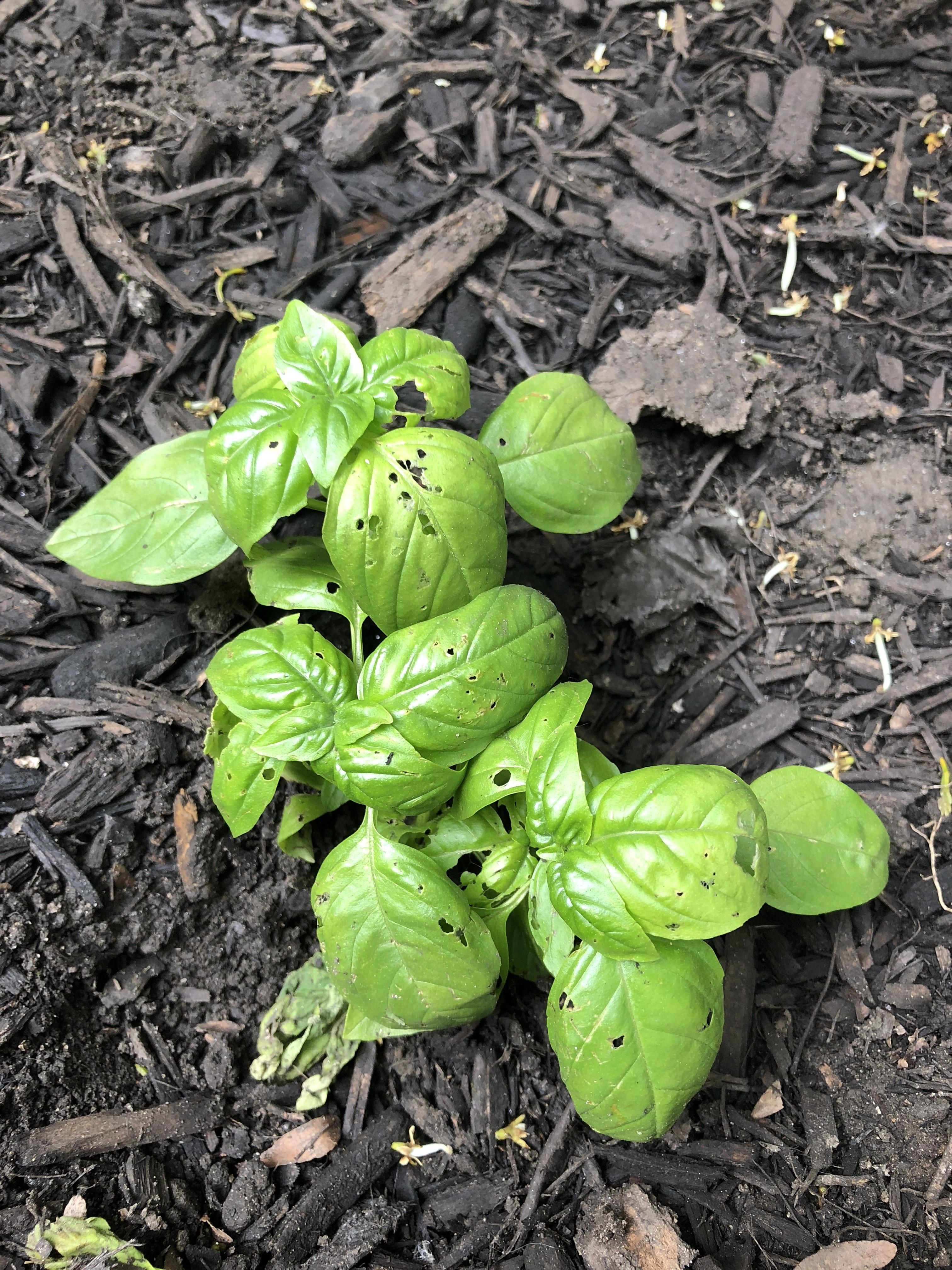 How To Stop Bugs Eating My Basil Gardening Garden Diy Home Flowers Roses Nature Landscaping Horticulture Basil Eat Horticulture