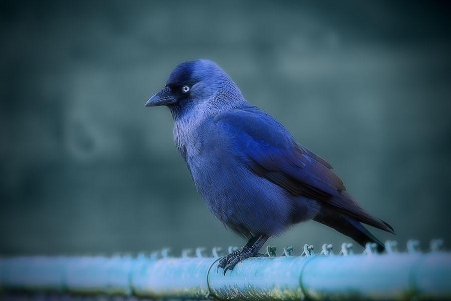Ocell Blau en reixa