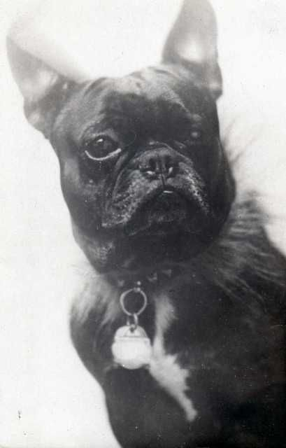 Antique Pictures French Bulldogs French Bulldog Pictures French