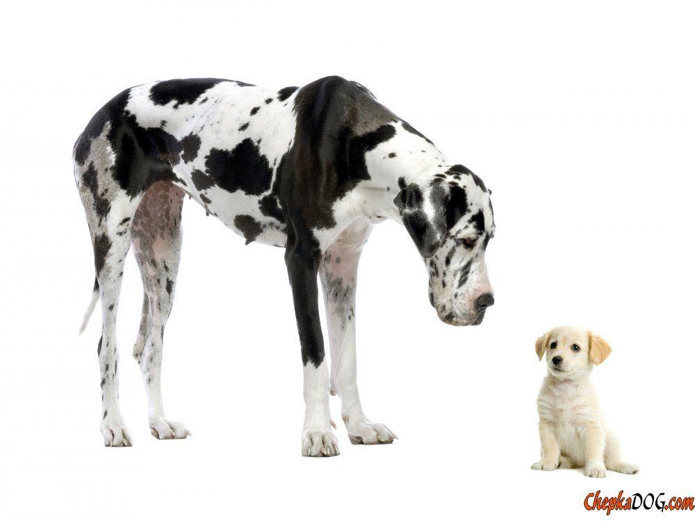 Neugierigem Hunden Und Welpen Deutsche Dogge Welpen Grosse Hunde