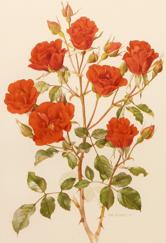 Vintage 1960s Concerto Rose Flower Print Vintage Botanical