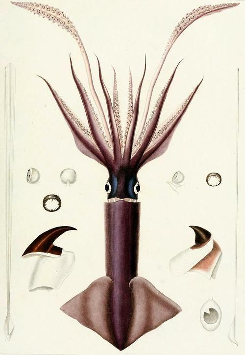 Humboldt Squid/Jumbo Squid