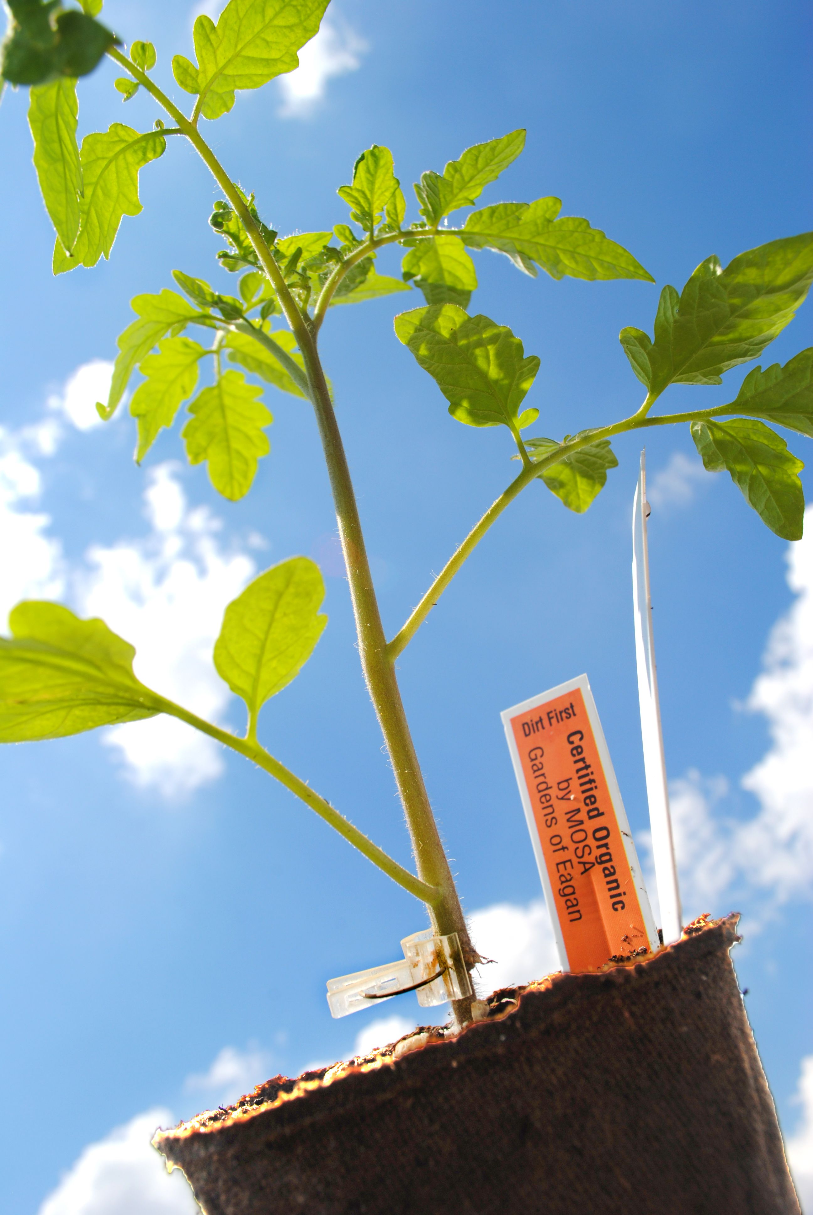 Growing a Grafted Tomato Plant in Your Garden (With images