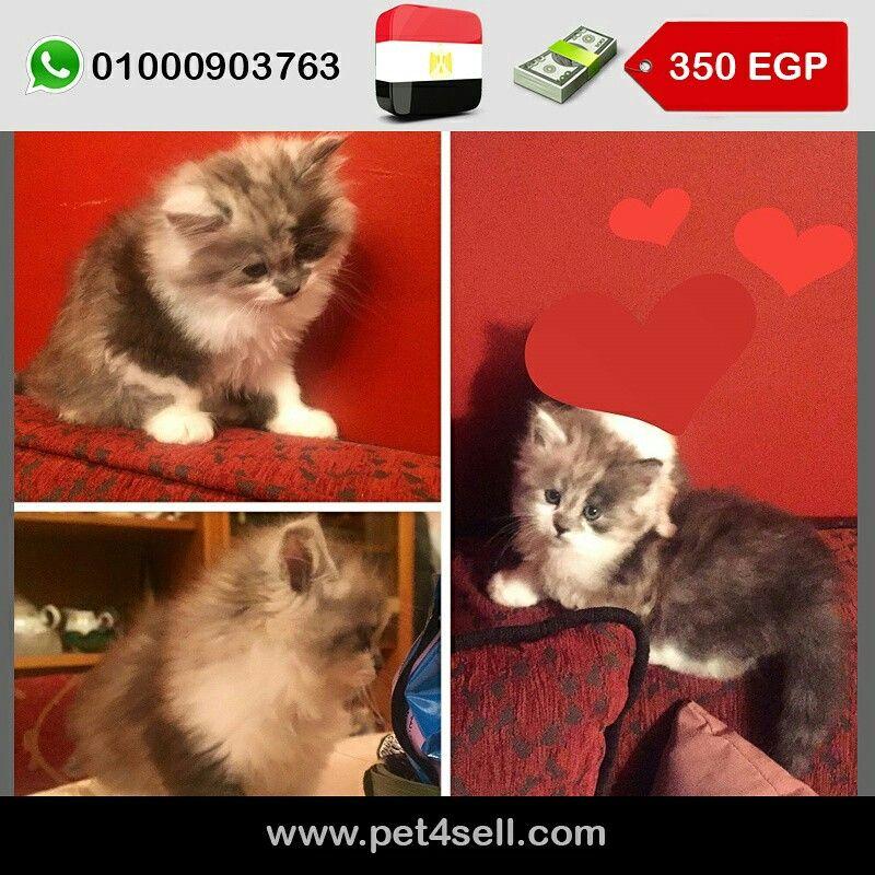 Egypt Alexandria Sherazi Kitty 59 Days Pet4sell Cats Kitty Animals