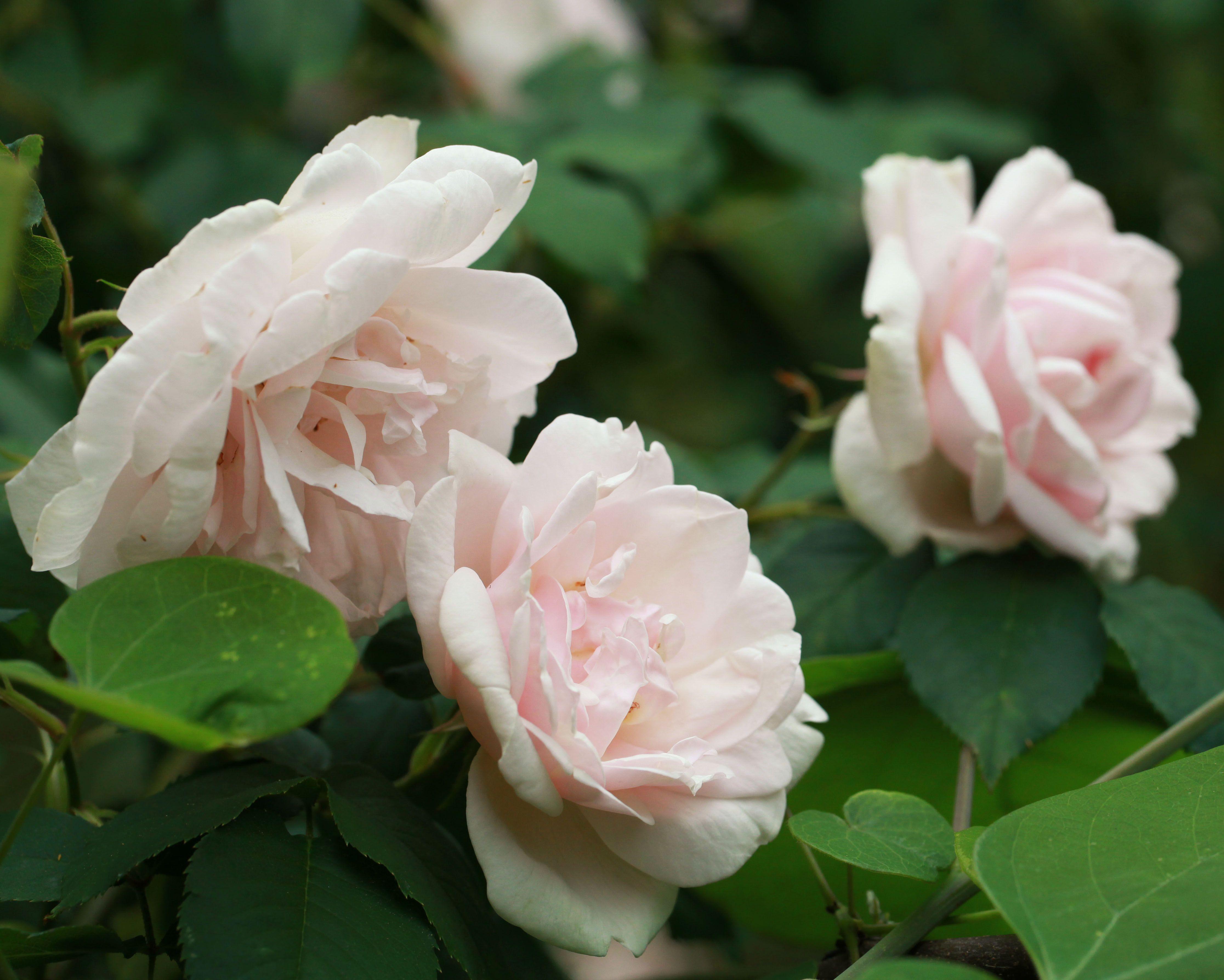 Rose Madame Cartier Roses Pinterest Rose Rose Varieties And