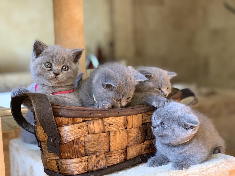 British Shorthair Kittens For Sale Local Pickup Only British Shorthair Cats Cats For Sale British Shorthair