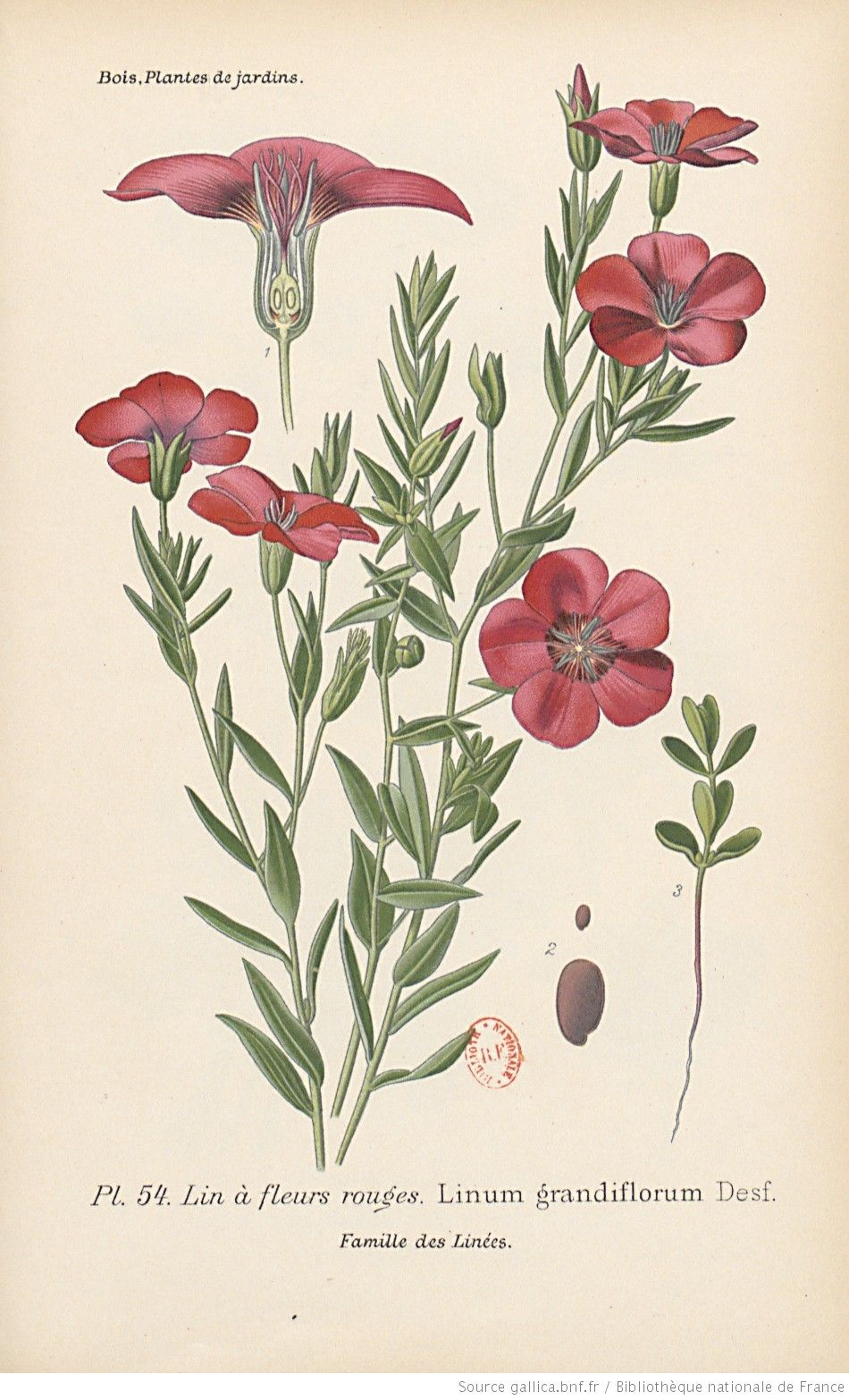 lin fleurs rouges atlas des plantes de jardins et d. Black Bedroom Furniture Sets. Home Design Ideas