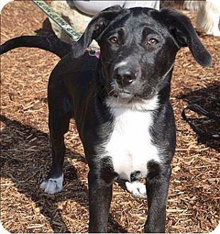 Sechelt Bc Border Collie Labrador Retriever Mix Meet Boots A Puppy For Adoption Puppy Adoption Kitten Adoption Puppies