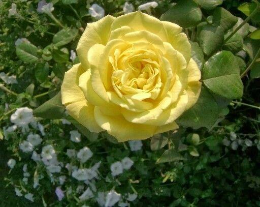 Ruusu .