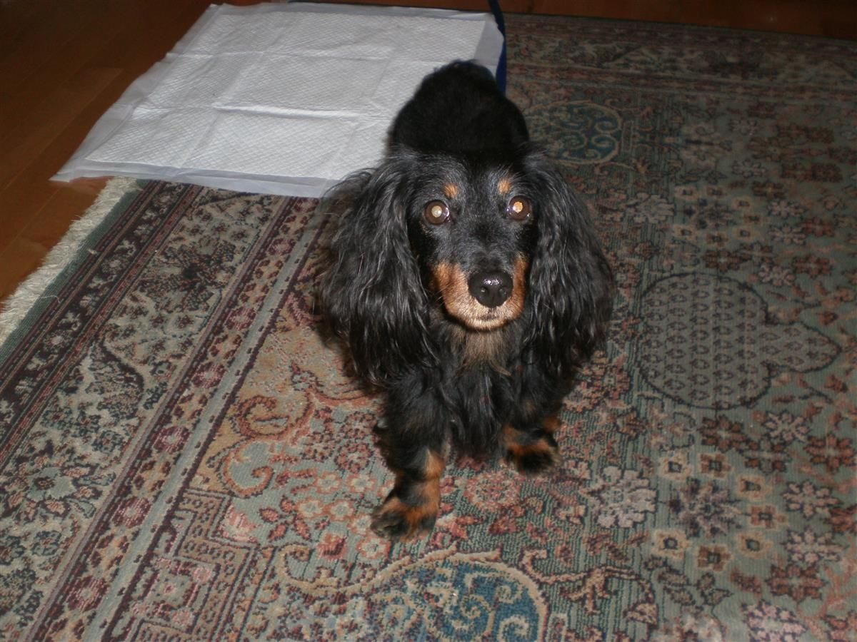 Lost Dog Dachshund Long Haired Bluewater On Canada Bayfield
