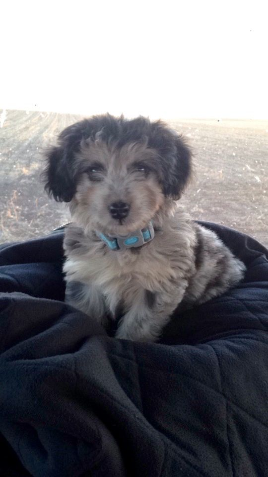 Aussiedoodle for in mn mini sale puppies Mini Aussiedoodle