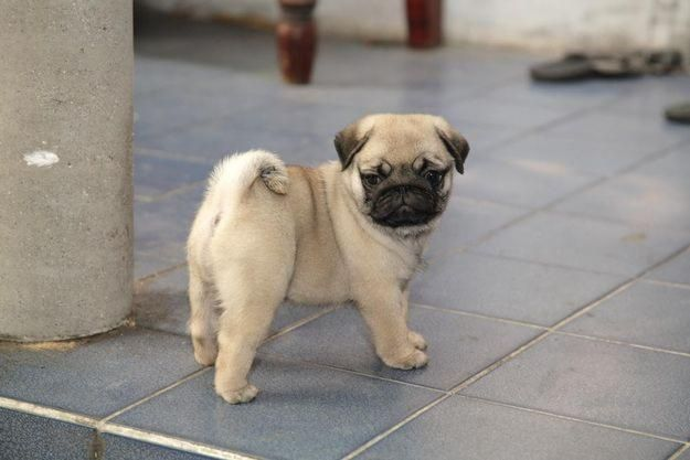 Doug The Pug Red Wine Cute Pug Puppies Pug Puppies Pug