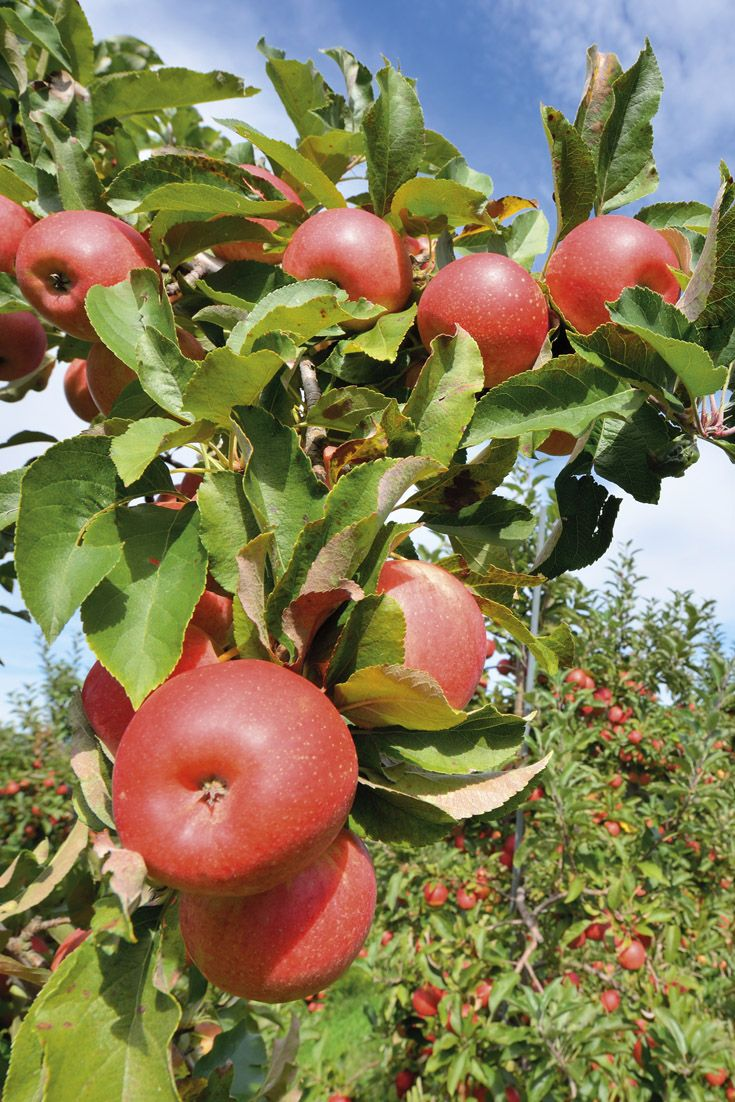 Over 7 500 Varieties Of Apples Are Grown Throughout The World And 2 500 Types Are Grown In The U S How Many Different Kinds Of Apples H Singles Day Apple Day