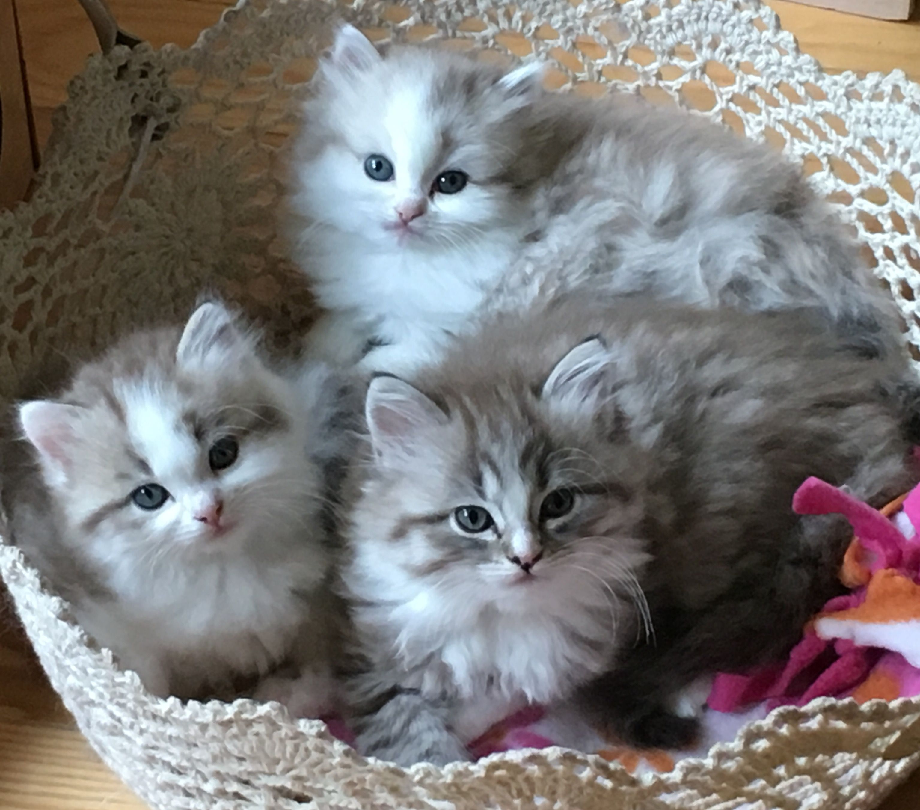 Sweetlilpaws Ragamuffin Kittens Ragamuffin Kittens Cats And