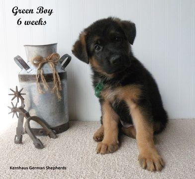 Litter of 4 German Shepherd Dog puppies for sale in