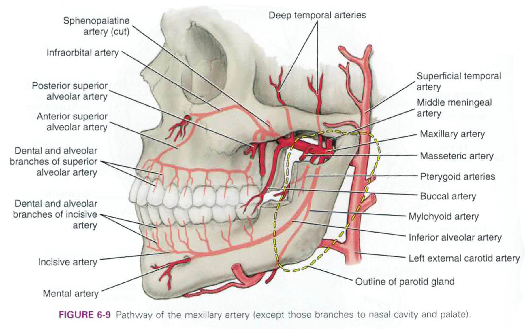 superior labial artery - Google Search | medical | Pinterest ...