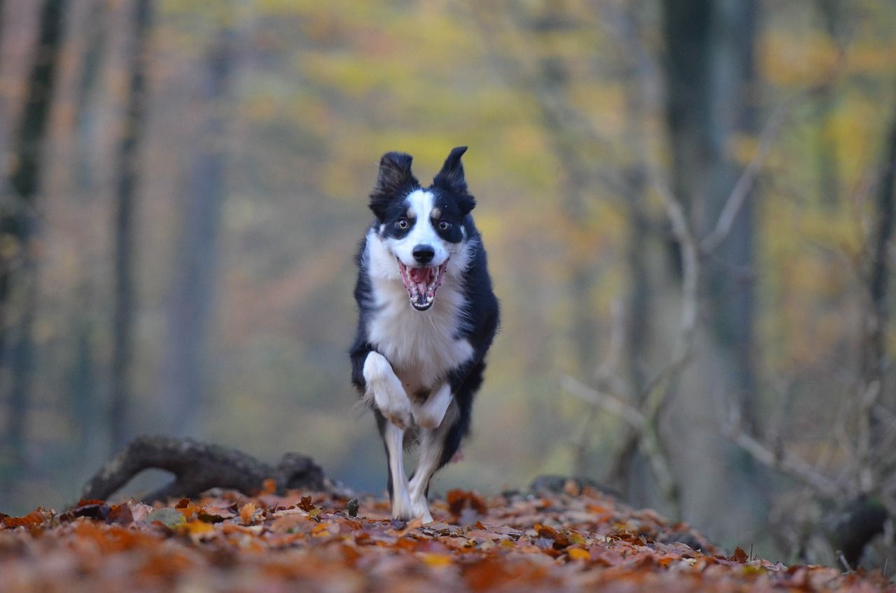 Forest Autumn Dog Running Dog Forest Leaves Natur Forest