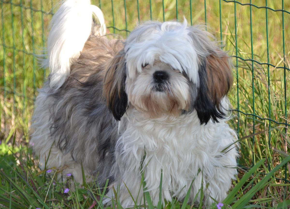 4 Shih Tzu Dog breeds that dont shed, Best cat breeds