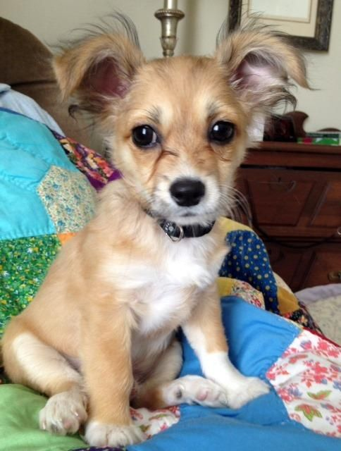 Papillon Dachshund Mix Cute Dog Pictures Dachshund Mix I Love Dogs